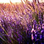 lavande article plante médicinale