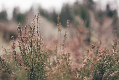 Une plante une histoire – Fleurs de Bruyère